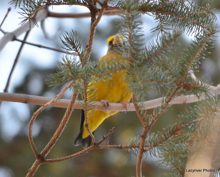 DSC_5019 Evening Grosbeak Dec 12 2012