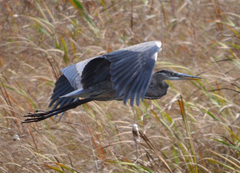 DSC_0882 Great Blue Heron Oct 11 2012