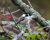 DSC_0241 Chickadee Oct 4 2012