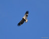 DSC_3038 Bald Eagle Nov 10 2012