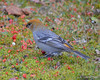 DSC_3950 Pine Grosbeak Nov 13 2012