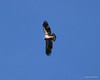 DSC_3039 Bald Eagle Nov 10 2012