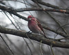 0426 Purple FInch Feb 17 2012 crop