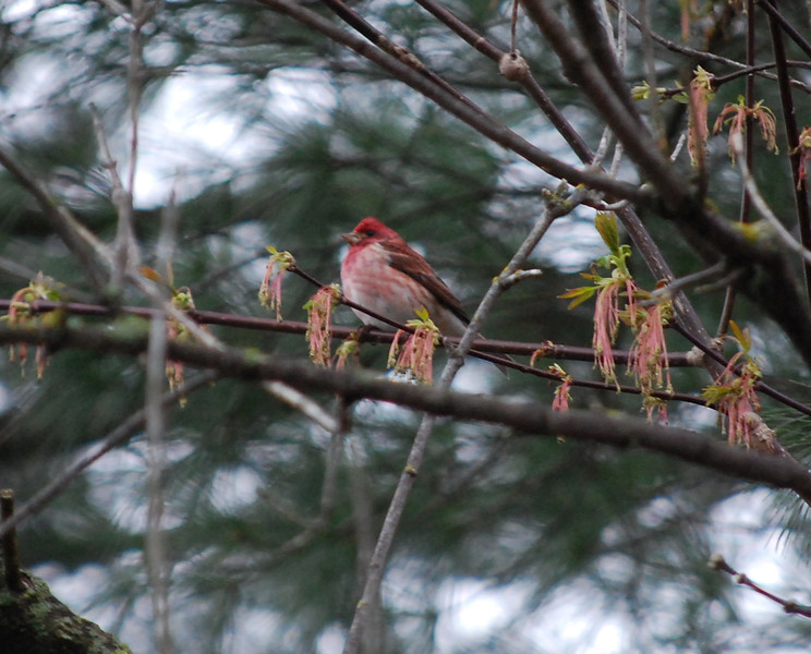 1694 Purple Finch May 1 2012 crop
