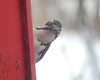 0322 Downy Woodpecker Jan 29 2012 crop