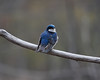 1913 Tree Swallow May 3 2012 crop