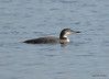 DSC_3307 Common Loon Nov 11 2012