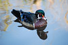 C_1950 Wood Duck Sept 13 2012