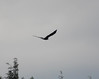 7710 Bald Eagle Aug 17 2012