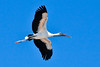 Third Place (Tie) Wood Stork in Flight Walt Beaumont