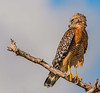 Third Place (Tie) Red Shouldered Hawk Hal Schillreff
