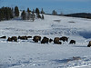 More bison roaming at Hayden Valley