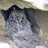 the one young owlet poking out from under mom shaded by mom's soft feathers