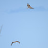 ferruginous hawk...both flying here