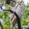 great horned owl tryin gto look dry