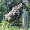 young moose #1 jumping barbwire fence looks like it could jump a Spruce Meadows