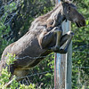 young moose #1 jumping barbwire fence