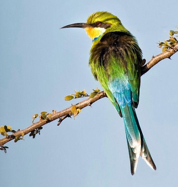 Yellow Ribbon Advanced Color Class African Bee Eater Ed Cohen