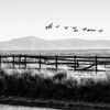 Farmington Bay Geese