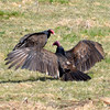 DSC_6453 Turkey Vultures Cow Apr 25 2013