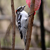 DSC_7471 Downy Woodpecker Apr 30 2013