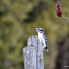 DSC_4703 Downy Woodpecker Apr 10 2013