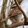 DSC_5051 White-throated Sparrow Apr 16 2013