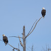 DSC_6212 Bald Eagle Apr 24 2013