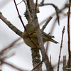 DSC_5458 Ruby-crowned Kinglet Apr 18 2013