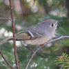 Ruby-crowned Kinglet Apr 25 2013