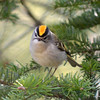 Golden-crowned Kinglet Apr 25 2013