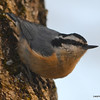 Red-breasted Nuthatch Apr 8 2013