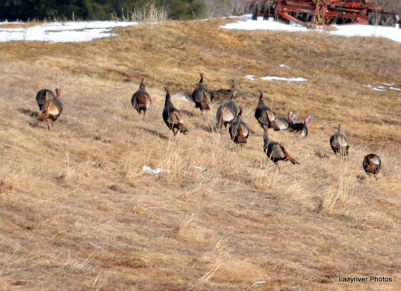 Wild Turkeys - Flock Mar 28 2013