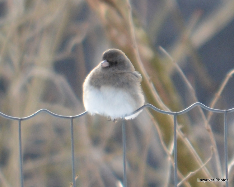 Northern Junco Jan 3 2012