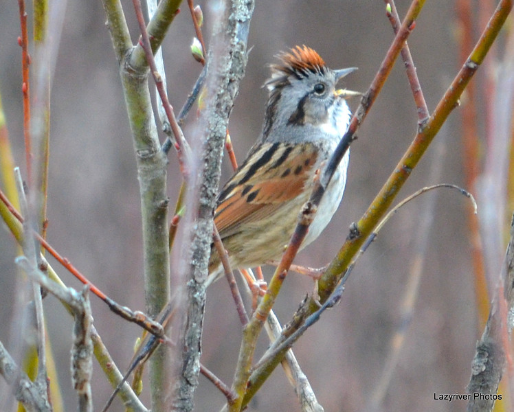 Swamp Sparrow Apr 29 2013