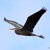 Great Blue Heron in flight Apr 14 2013