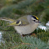 Golden-Crowned Kinglet Mar 18 2013