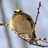 Golden-Crowned Kinglet Mar 18 2013 (2)