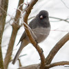 Northern Junco Apr 23 2013