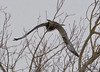 FSC_1620 Rough-legged Hawk Dec 27 2013