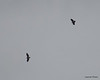 FSC_0755 Bald Eagles Dec 6 2013