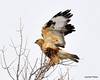 FSC_1629 Rough-legged Hawk Dec 27 2013