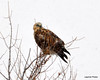 FSC_1625 Rough-legged Hawk Dec 27 2013