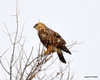 FSC_1626 Rough-legged Hawk Dec 27 2013