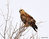 FSC_1627 Rough-legged Hawk Dec 27 2013