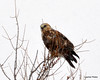 FSC_1622 Rough-legged Hawk Dec 27 2013