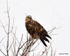 FSC_1624 Rough-legged Hawk Dec 27 2013