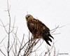 FSC_1623 Rough-legged Hawk Dec 27 2013