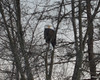 FSC_1026 Bald Eagle Dec 13 2013