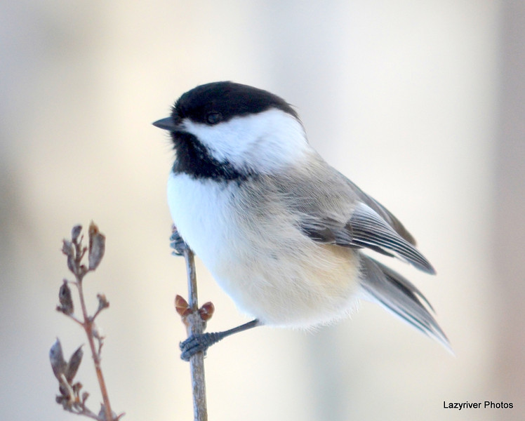 DSC_1894 Chickadee Feb 22 2013